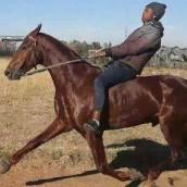 Mr Sello Rasenya's horsephoto (2)